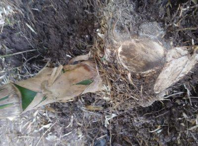 Bambú de hierro (D. Strictus) – 3 años