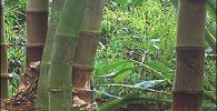 dendrocalamus giganteus semillas