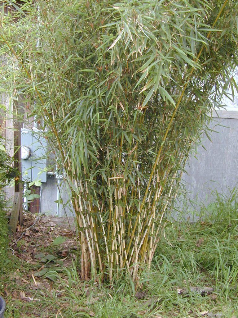 bambu fargesia arbusto seto