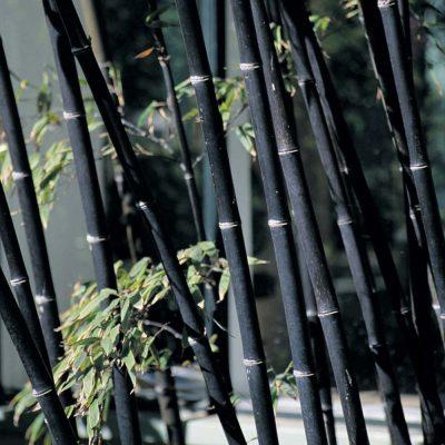 bambú de invierno
