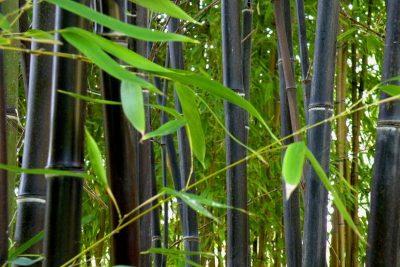Phyllostachys Nigra, bambú negro, black bamboo