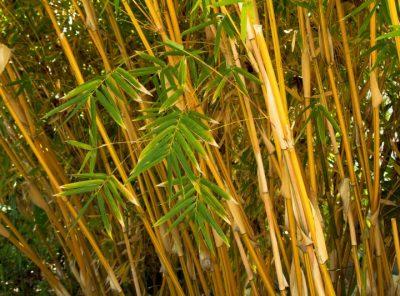 plantas de bambu alphonse karr flautas