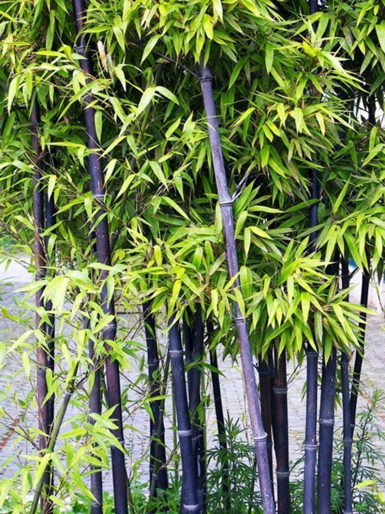 vivero de bambú negro