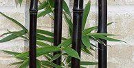 semillas de bambú negro