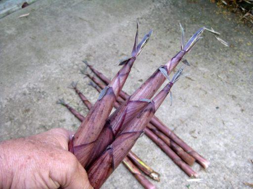 brotes comestibles bambú nigra