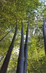bambú nigra negro vivero tienda