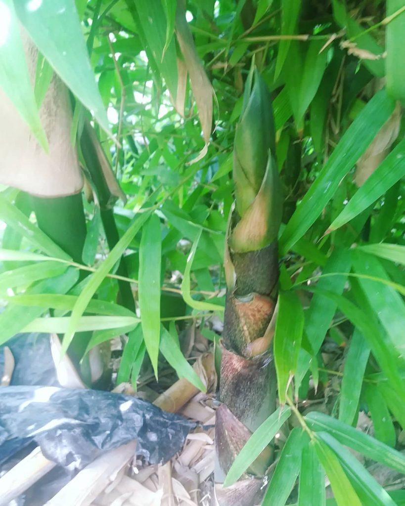 el bambú mas grande del mundo