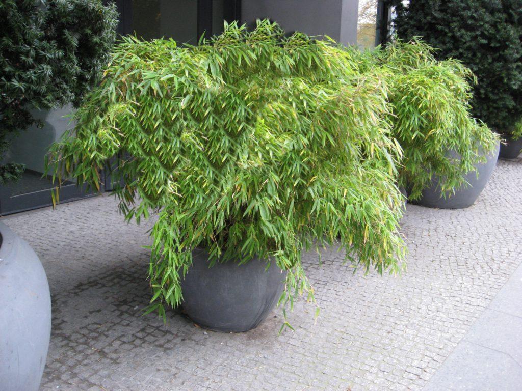 plantas de fargesia