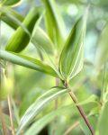 Phyllostachys Aureosulcata como son sus hojas