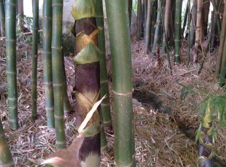 venta de plantas de bambú moso japonés 2020