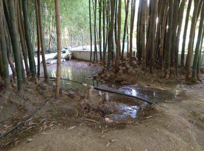 planas de bambu japones en españa 2020