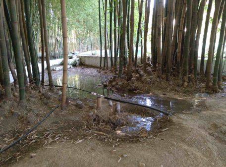 bambusal de bambú moso 2020