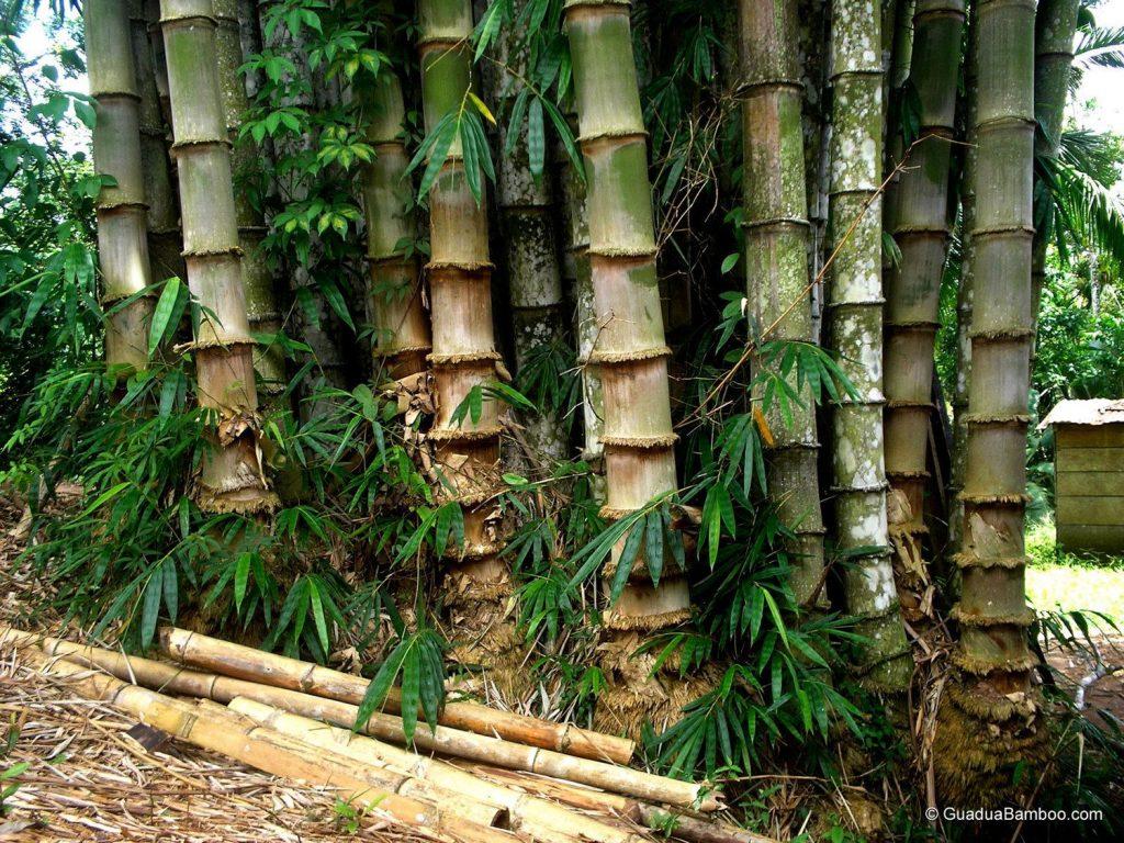 Madurez del bambú para uso en construcción