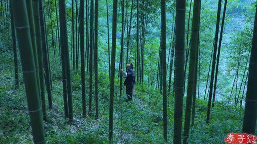 Bosque de bambú natural como elegir las cañas para cortar y hacer muebles