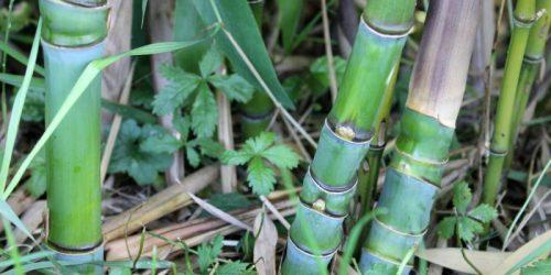 bambu aurea