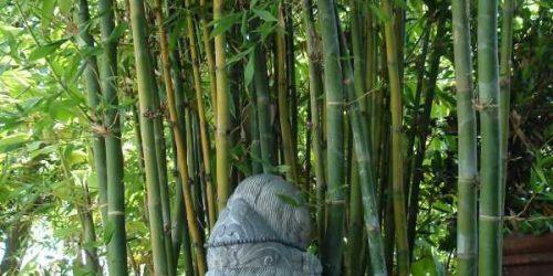 bambusa oldhamii