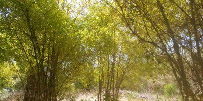 Como crear una plantación de bambú en 2020