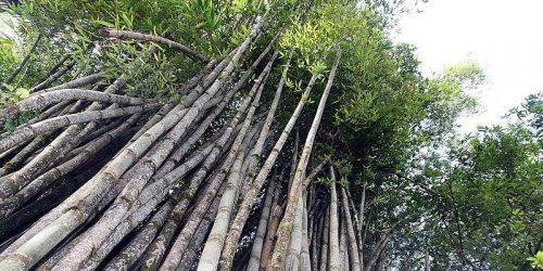 dendrocalamus giganteus bambu gigante