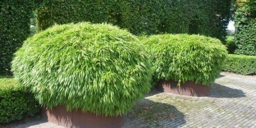 fargesia rufa bambu
